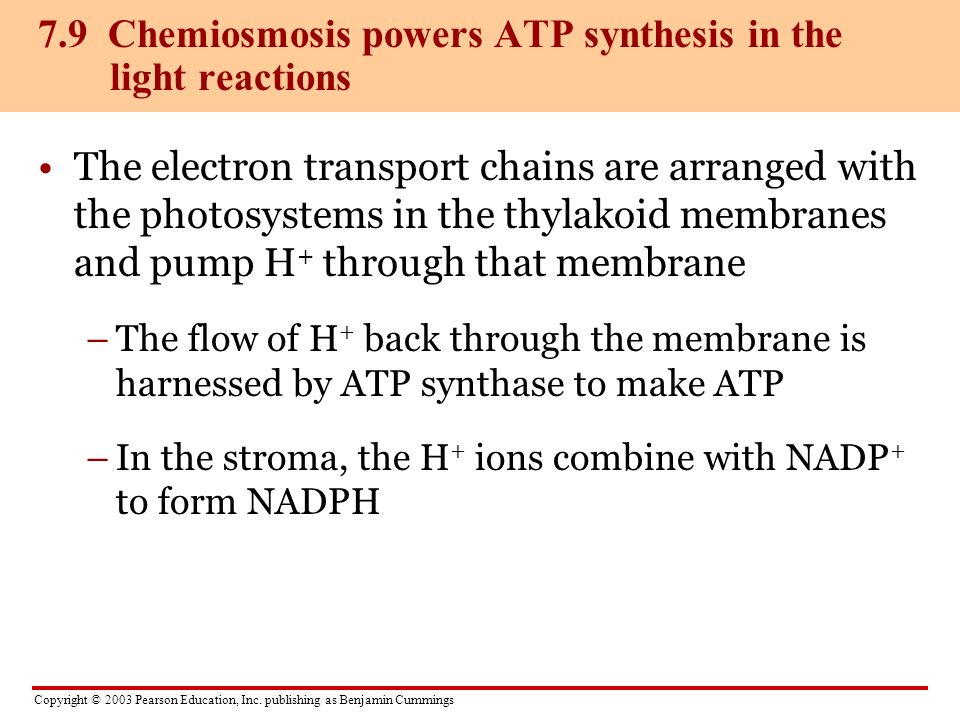 7.9 Chemiosmosis powers ATP synthesis in the light reactions