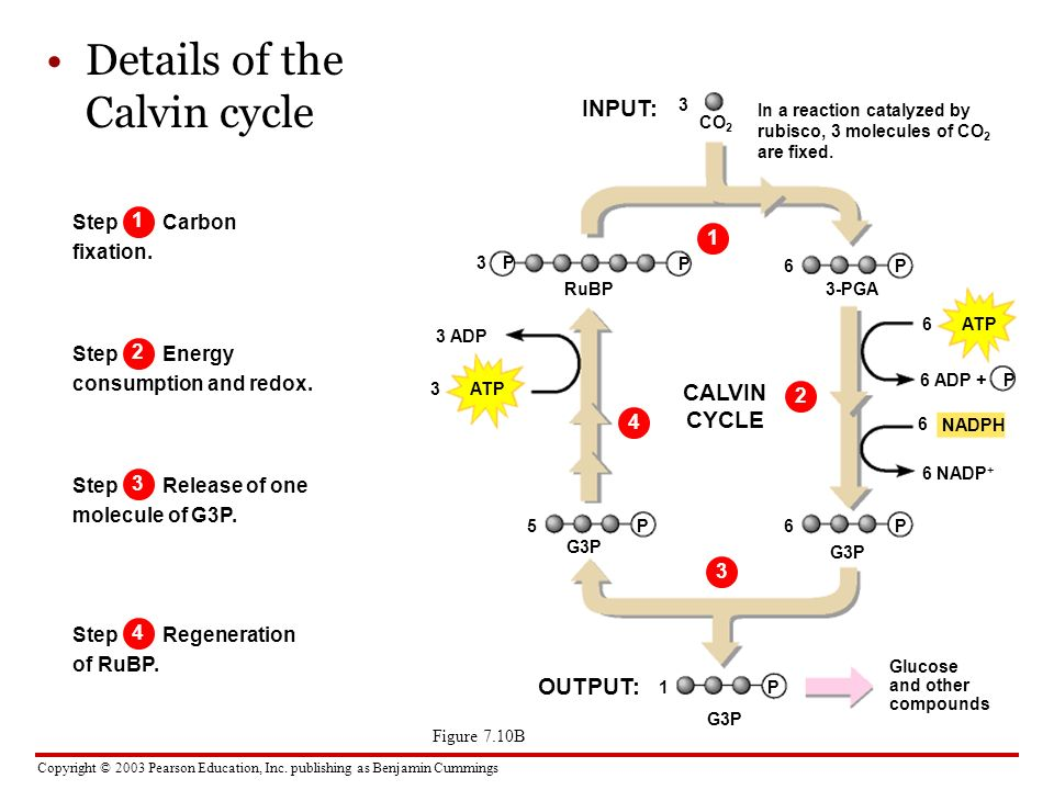 Details of the Calvin cycle