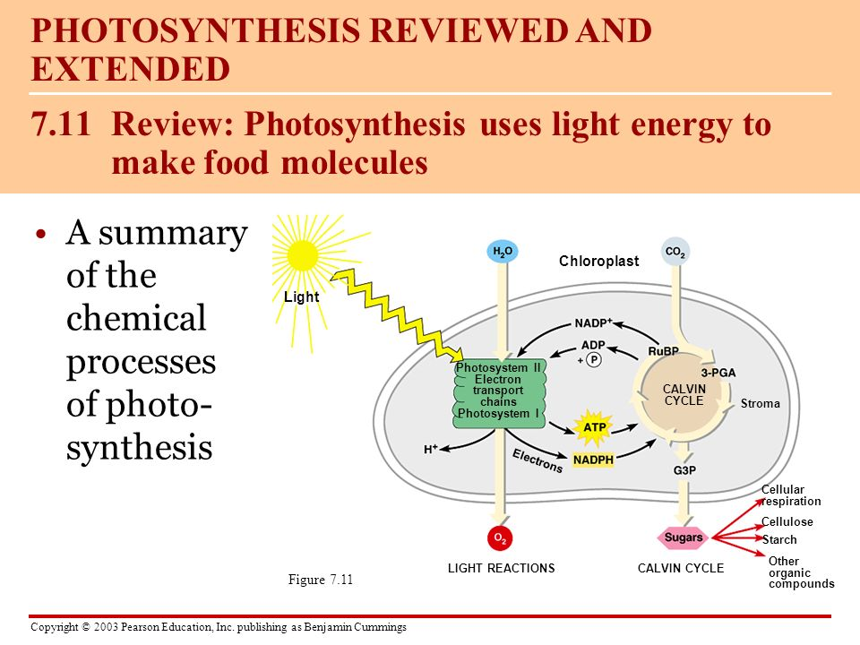 7.11 Review: Photosynthesis uses light energy to make food molecules