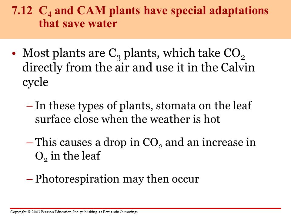 7.12 C4 and CAM plants have special adaptations that save water