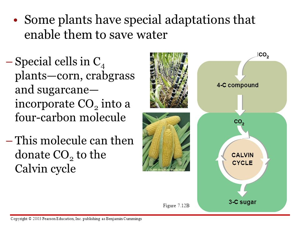 Some plants have special adaptations that enable them to save water