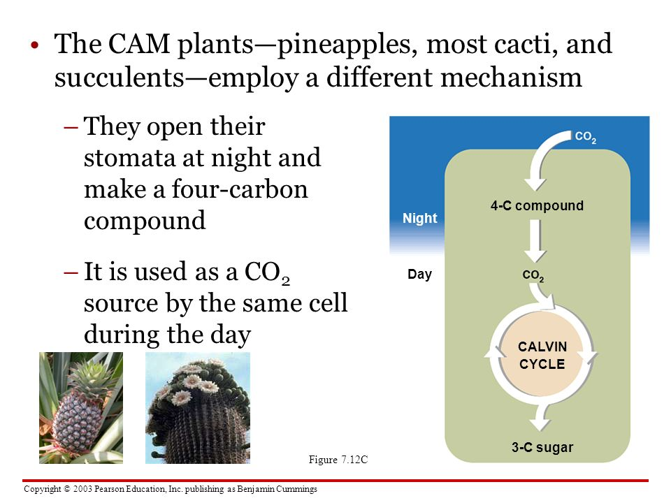 The CAM plants—pineapples, most cacti, and succulents—employ a different mechanism