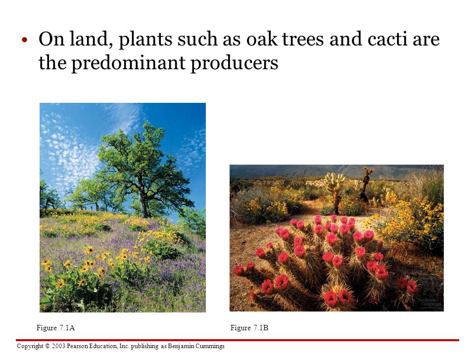 On land, plants such as oak trees and cacti are the predominant producers