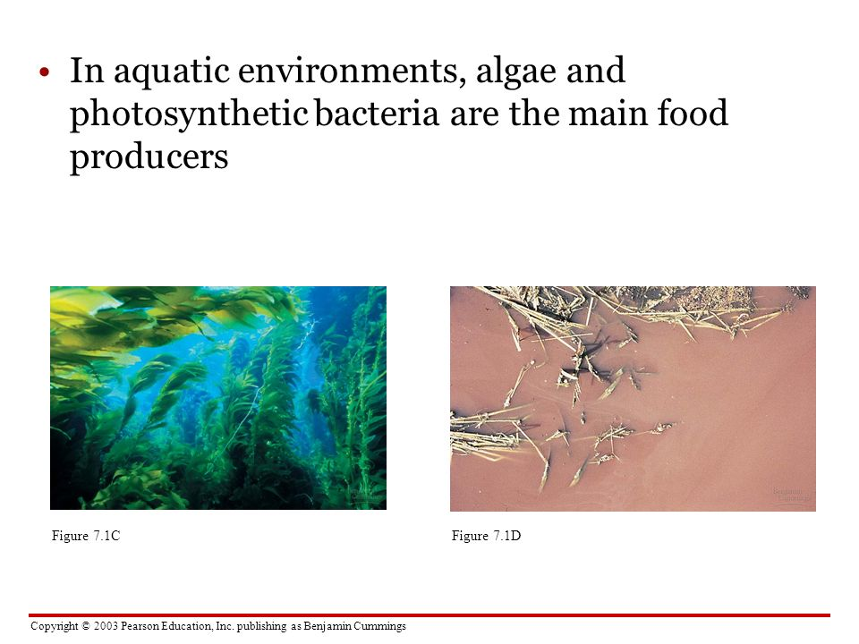 In aquatic environments, algae and photosynthetic bacteria are the main food producers