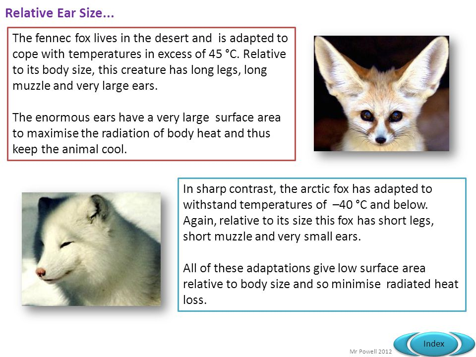 Relative Ear Size...