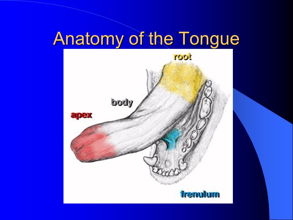 Anatomy of the Tongue