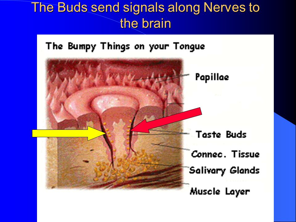 The Buds send signals along Nerves to the brain