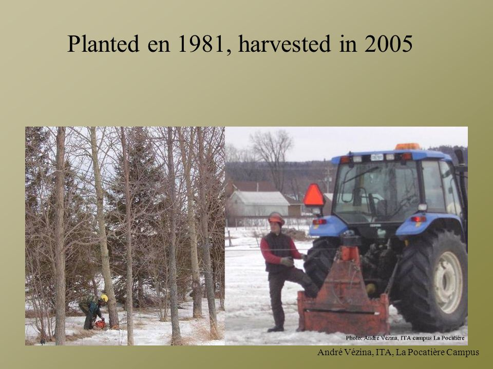 Planted en 1981, harvested in 2005