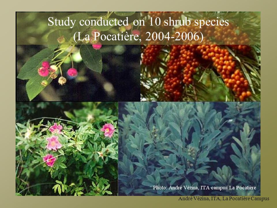 Study conducted on 10 shrub species (La Pocatière, 2004-2006)