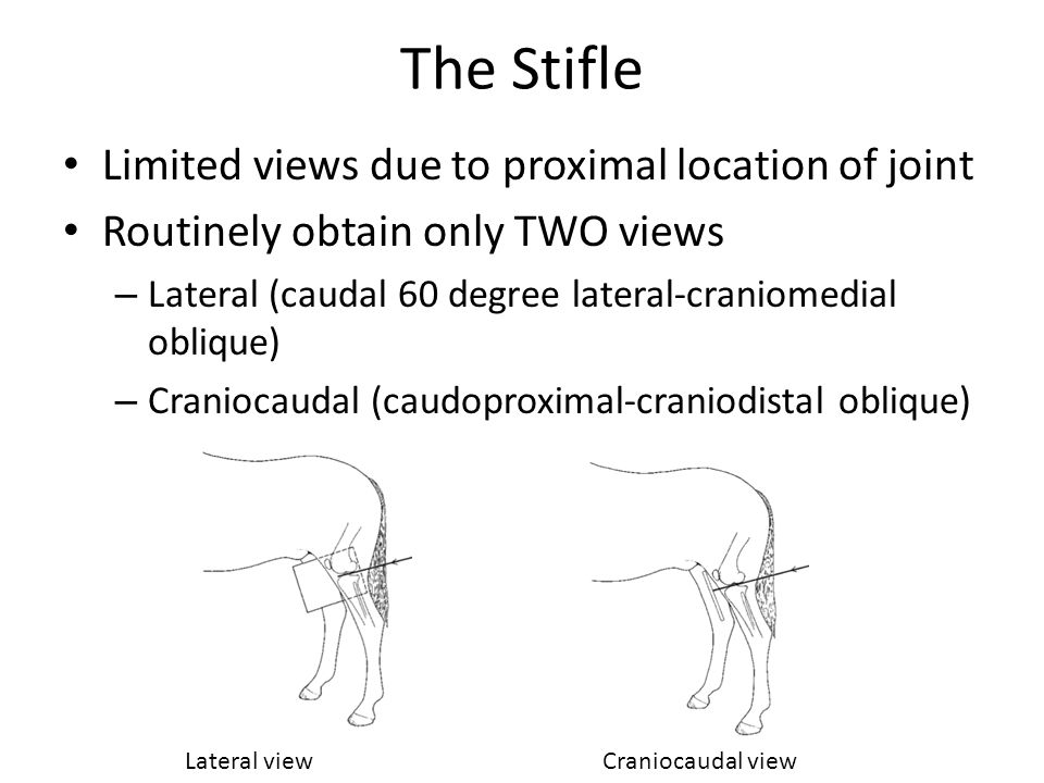 The Stifle Limited views due to proximal location of joint