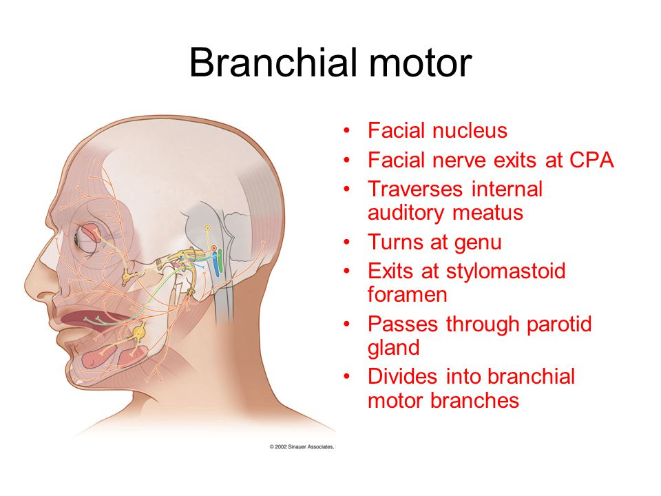 Branchial motor Facial nucleus Facial nerve exits at CPA