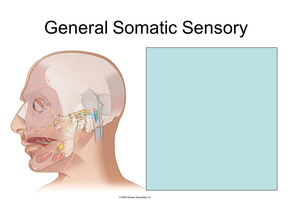 General Somatic Sensory