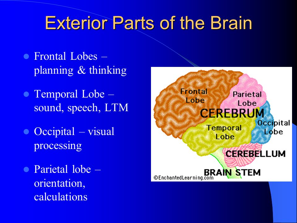 Exterior Parts of the Brain
