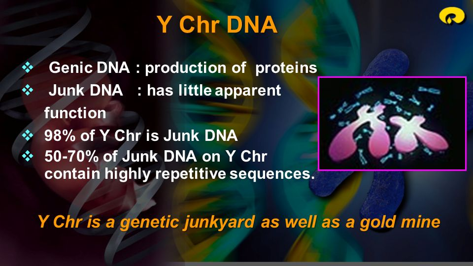 Y Chr DNA Y Chr is a genetic junkyard as well as a gold mine
