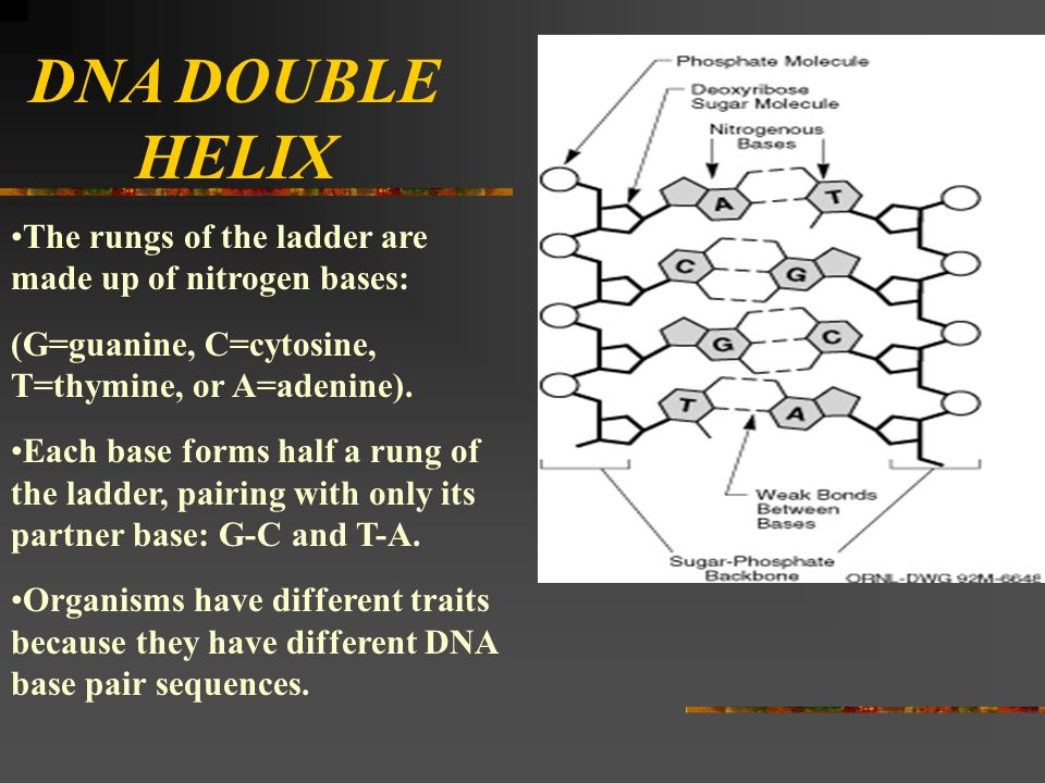 DNA DOUBLE HELIX The rungs of the ladder are made up of nitrogen bases: (G=guanine, C=cytosine, T=thymine, or A=adenine).