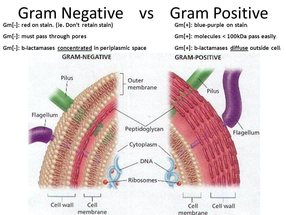 Gram Negative vs Gram Positive