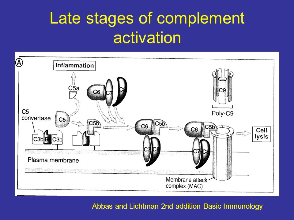 Late stages of complement activation