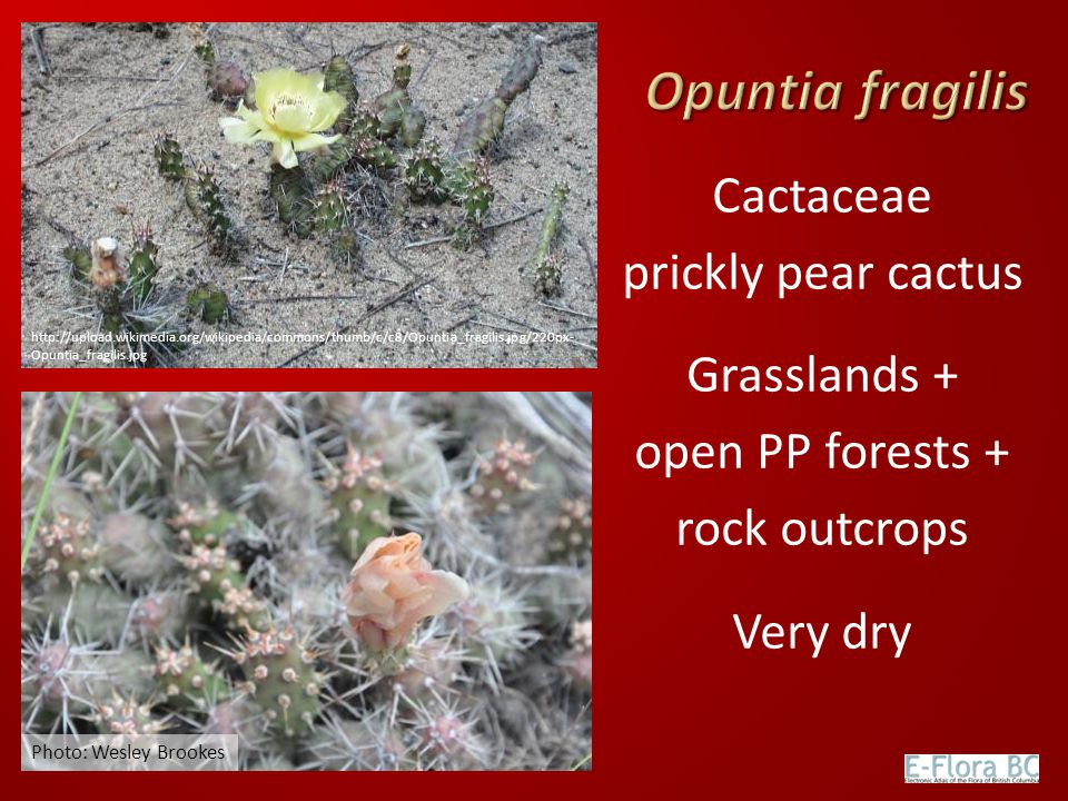 Opuntia fragilis Cactaceae prickly pear cactus Grasslands + open PP forests + rock outcrops Very dry