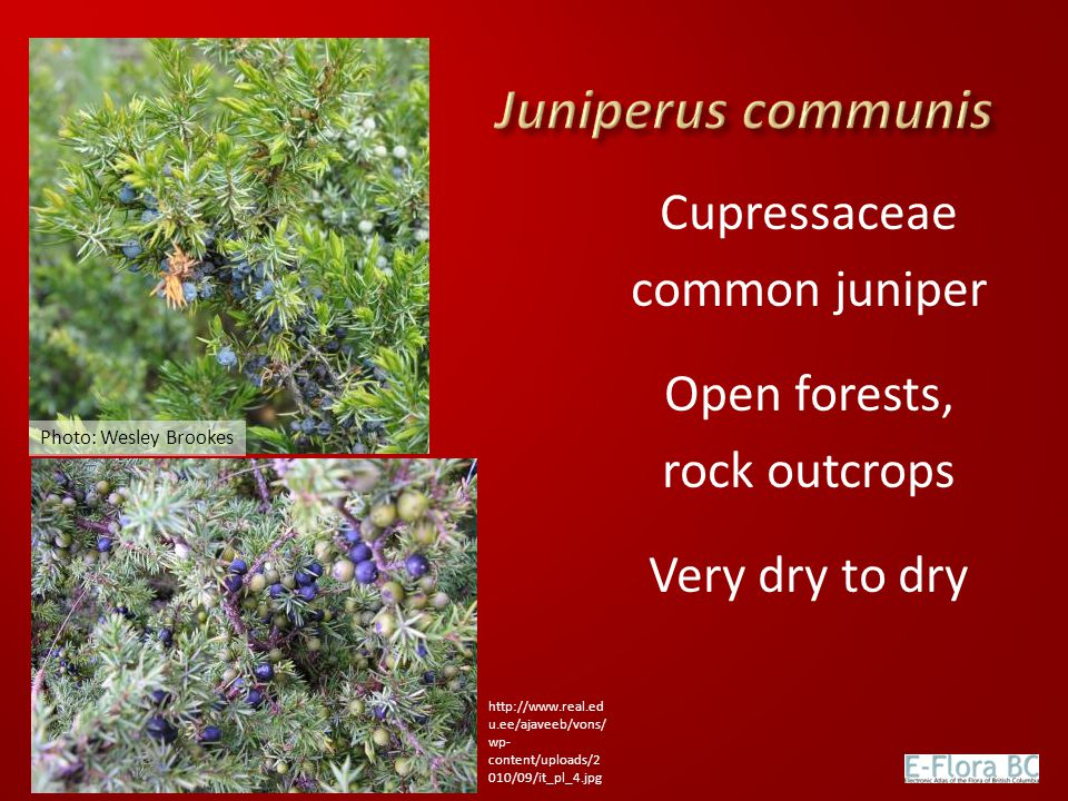 Juniperus communis Cupressaceae common juniper Open forests,