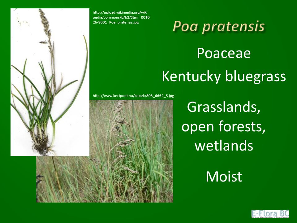 Poaceae Kentucky bluegrass Grasslands, open forests, wetlands Moist