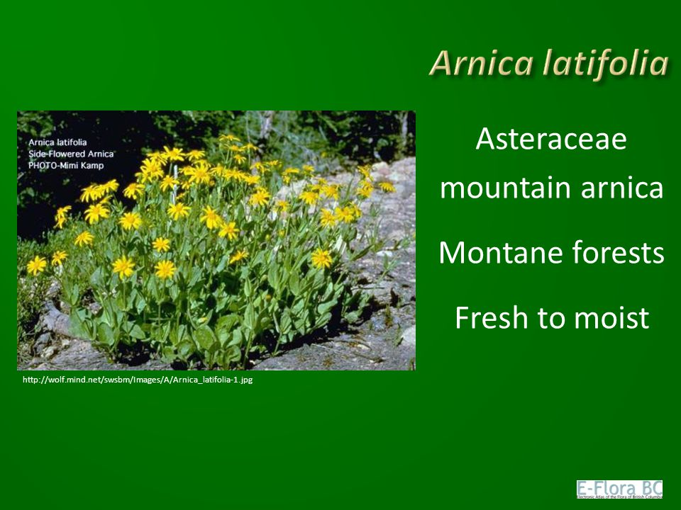 Asteraceae mountain arnica Montane forests Fresh to moist
