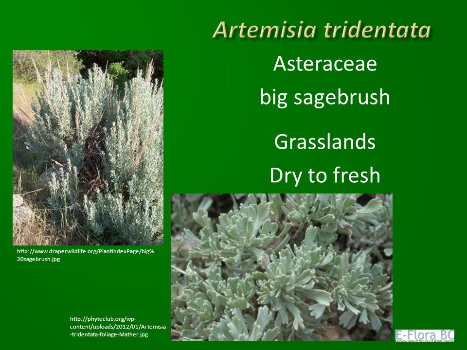 Artemisia tridentata Asteraceae big sagebrush Grasslands Dry to fresh