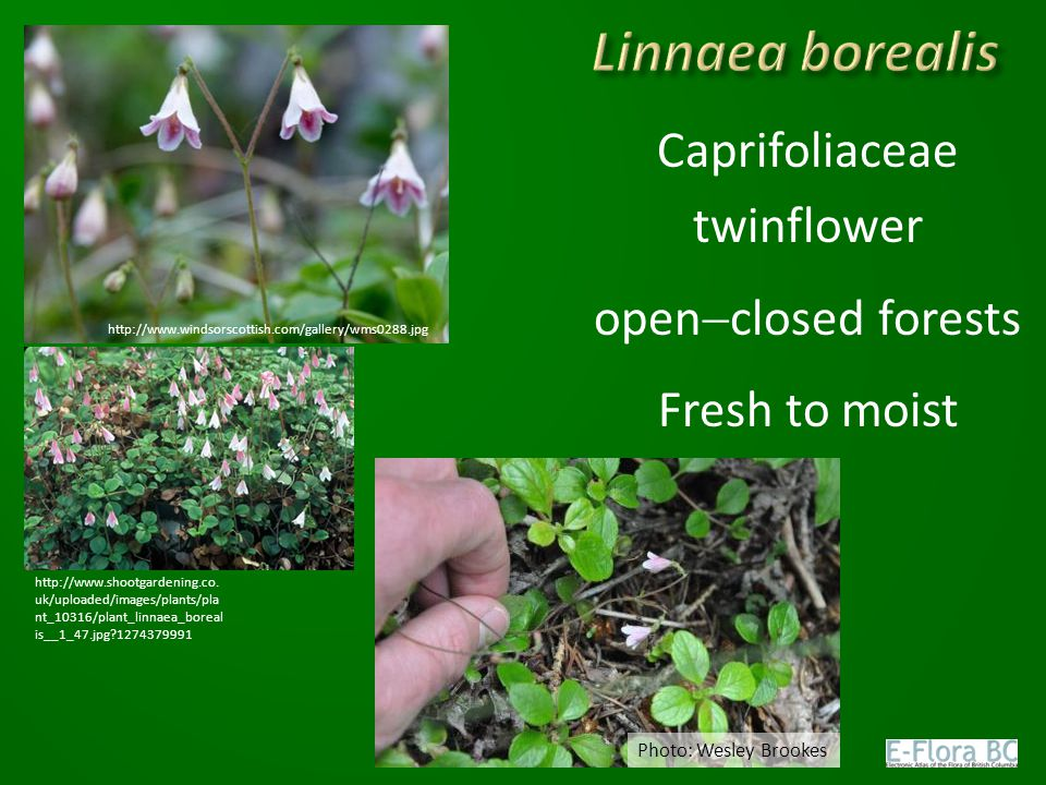 Caprifoliaceae twinflower openclosed forests Fresh to moist