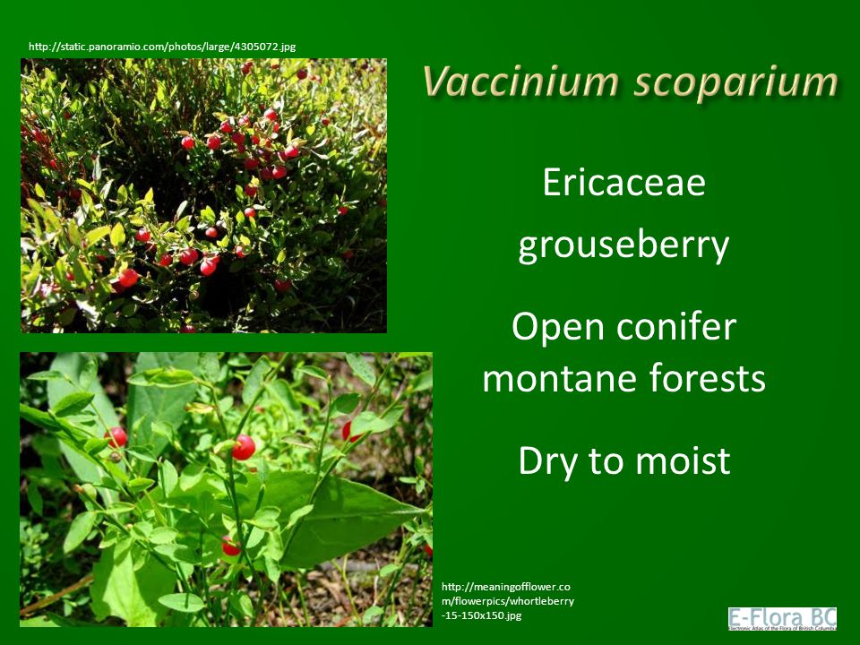Ericaceae grouseberry Open conifer montane forests Dry to moist