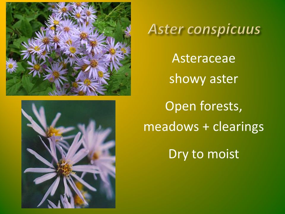 Aster conspicuus Asteraceae showy aster Open forests,