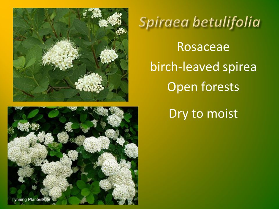 Spiraea betulifolia Rosaceae birch-leaved spirea Open forests