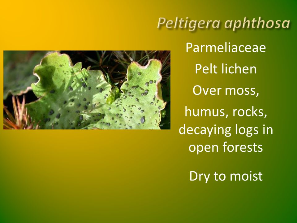 Peltigera aphthosa Parmeliaceae Pelt lichen Over moss, humus, rocks, decaying logs in open forests Dry to moist