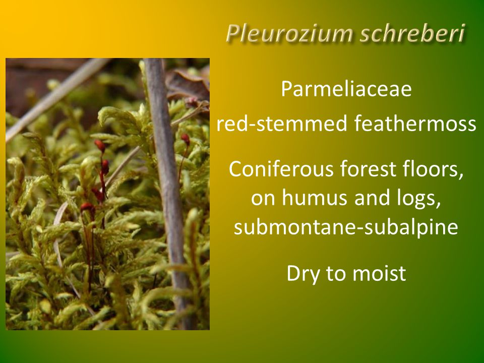 Pleurozium schreberi Parmeliaceae red-stemmed feathermoss Coniferous forest floors, on humus and logs, submontane-subalpine Dry to moist