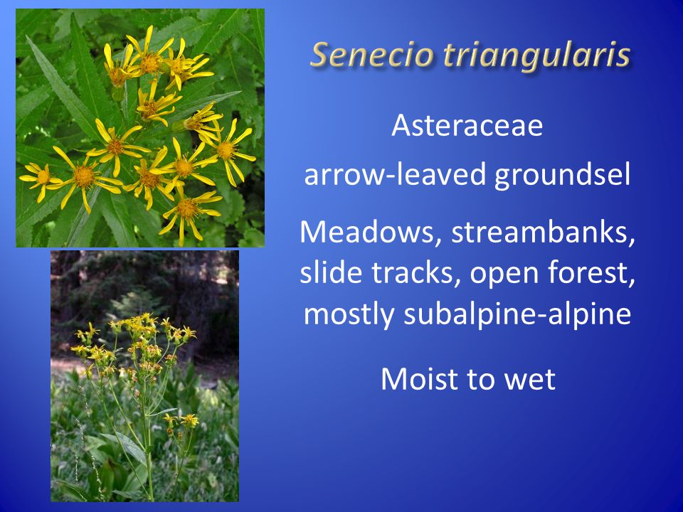 Senecio triangularis Asteraceae arrow-leaved groundsel Meadows, streambanks, slide tracks, open forest, mostly subalpine-alpine Moist to wet