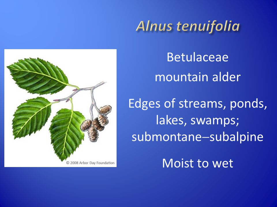Alnus tenuifolia Betulaceae mountain alder Edges of streams, ponds, lakes, swamps; submontanesubalpine Moist to wet