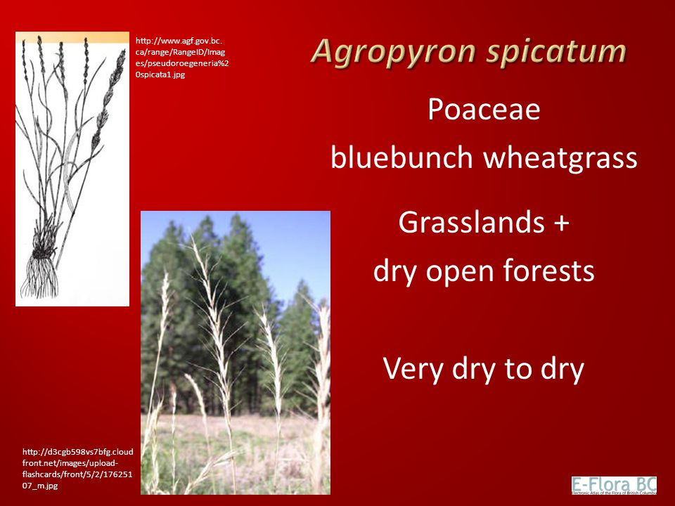 Agropyron spicatum Poaceae bluebunch wheatgrass Grasslands +