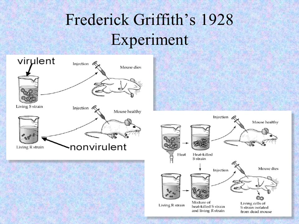 Frederick Griffith's 1928 Experiment
