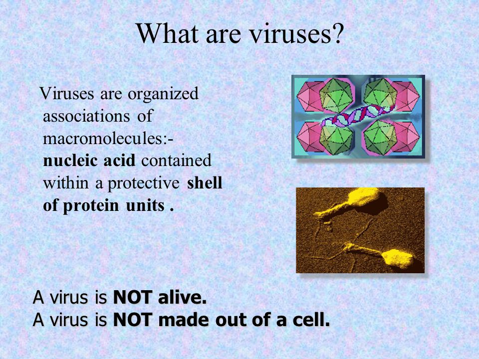 What are viruses Viruses are organized associations of macromolecules:- nucleic acid contained within a protective shell of protein units .
