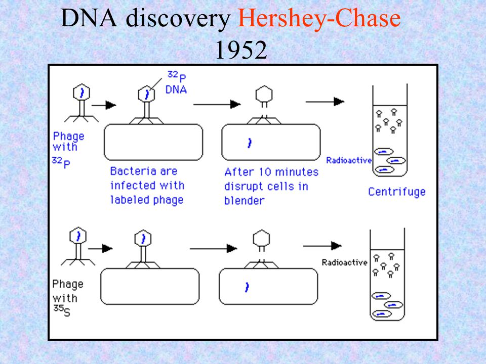 DNA discovery Hershey-Chase 1952