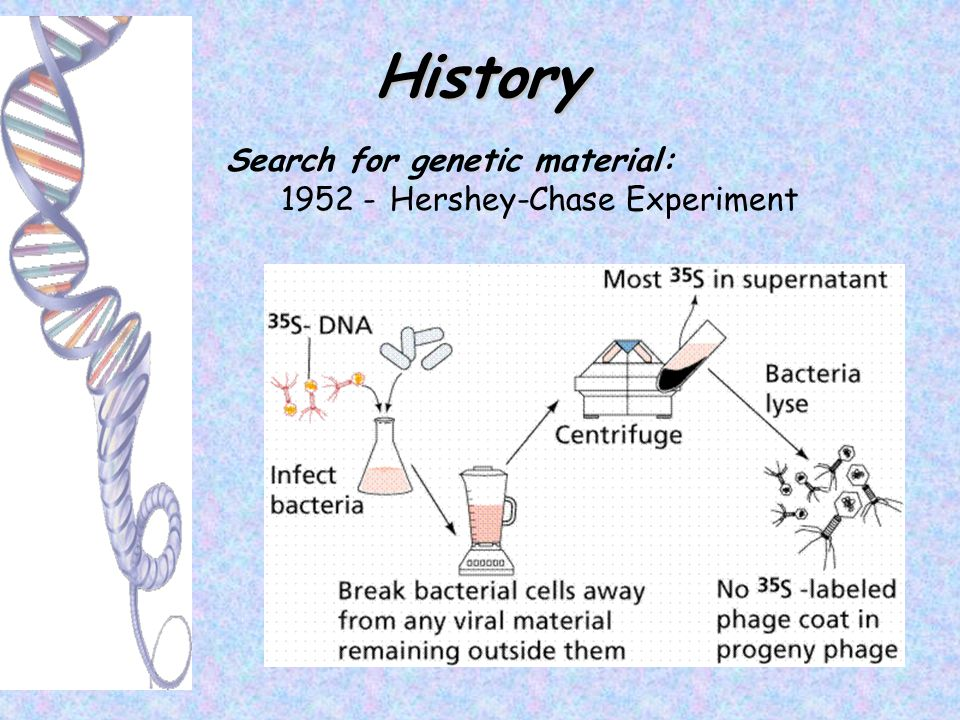 History Search for genetic material: 1952 - Hershey-Chase Experiment