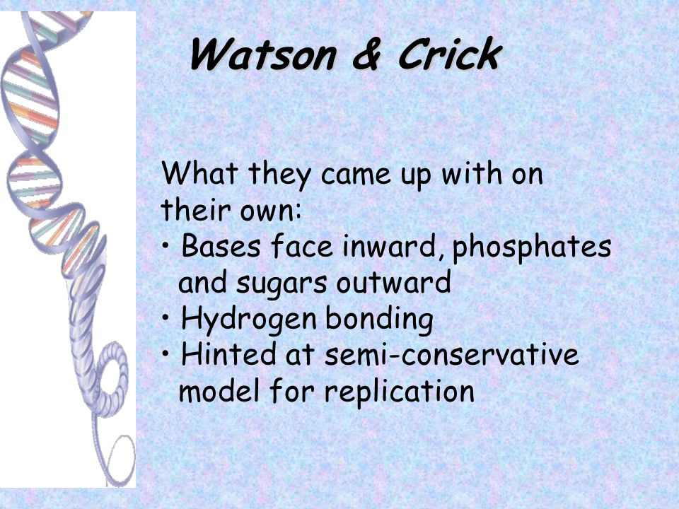 Watson & Crick What they came up with on their own: