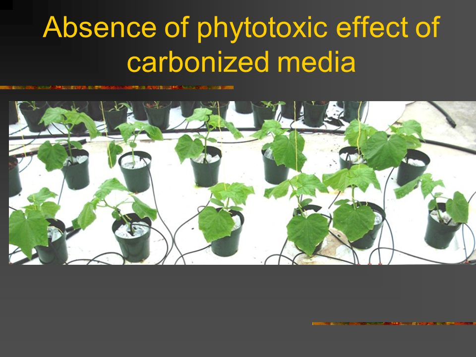 Absence of phytotoxic effect of carbonized media