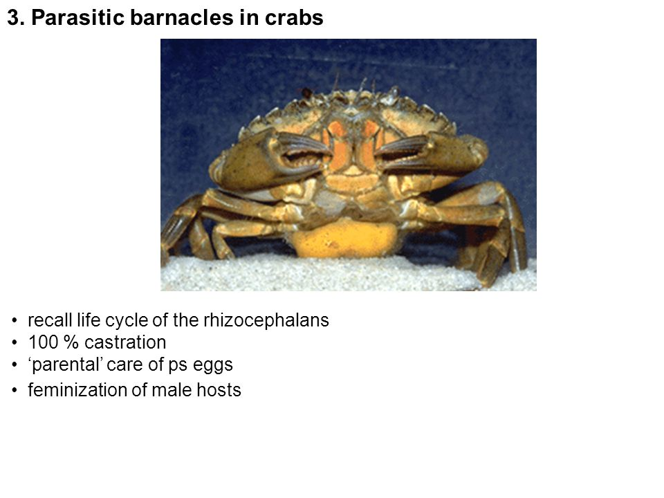 3. Parasitic barnacles in crabs