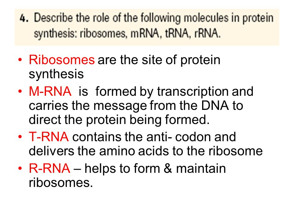 Ribosomes are the site of protein synthesis