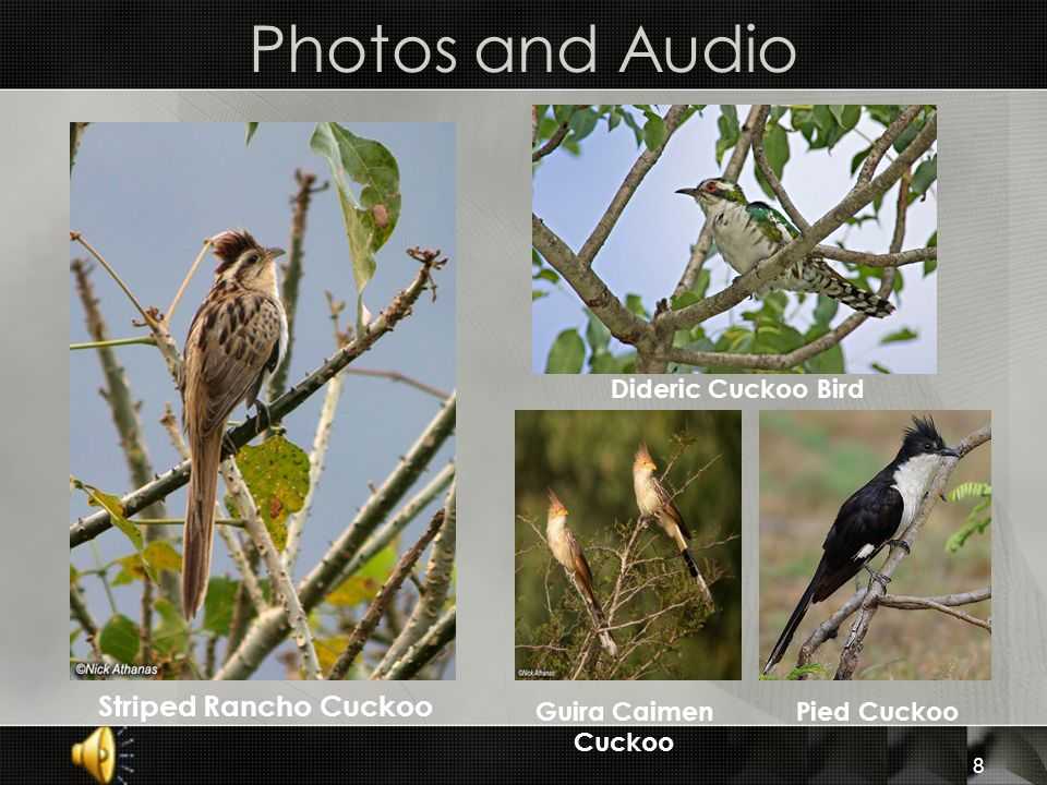 Photos and Audio Striped Rancho Cuckoo Dideric Cuckoo Bird