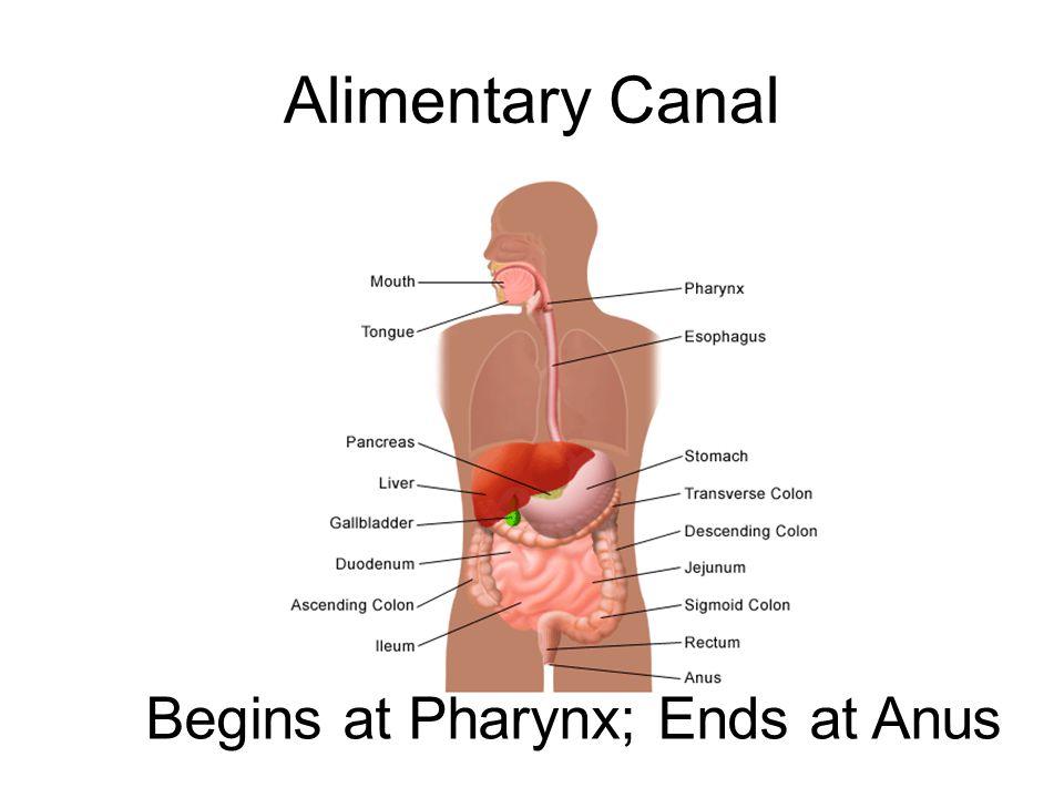 Begins at Pharynx; Ends at Anus