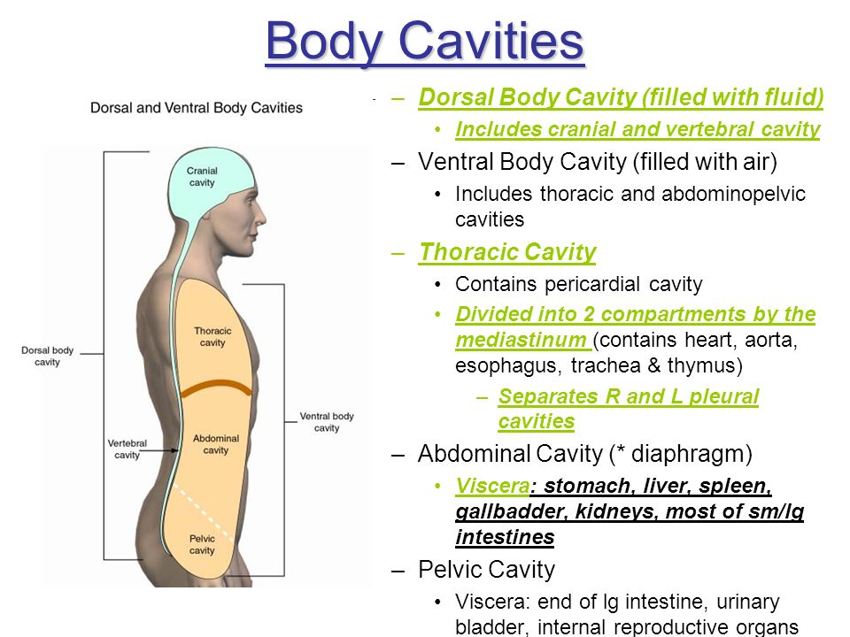 Body Cavities Dorsal Body Cavity (filled with fluid)