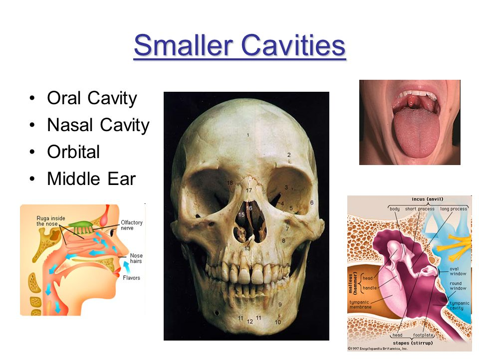 Smaller Cavities Oral Cavity Nasal Cavity Orbital Middle Ear