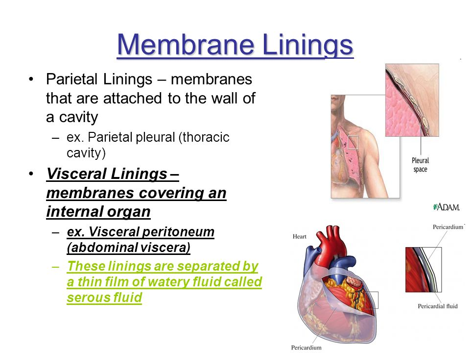 Membrane Linings Parietal Linings – membranes that are attached to the wall of a cavity. ex. Parietal pleural (thoracic cavity)