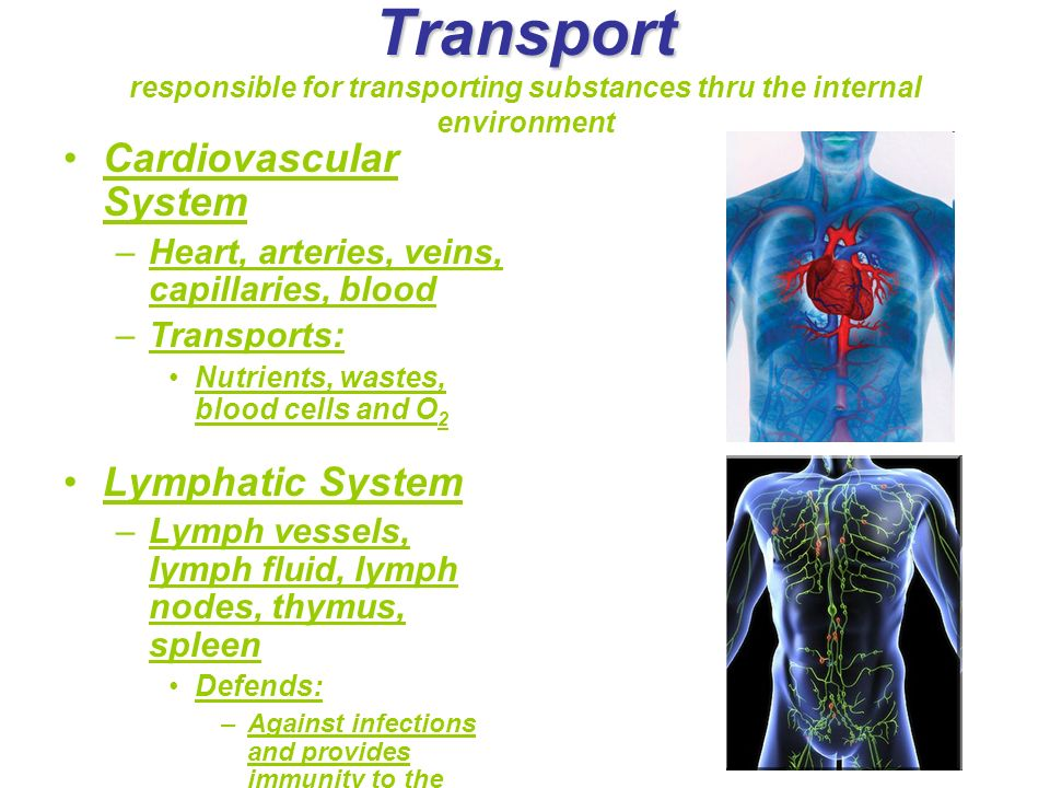 Transport responsible for transporting substances thru the internal environment