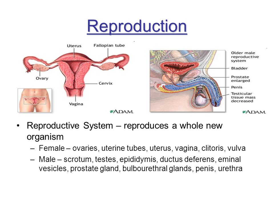 Reproduction Reproductive System – reproduces a whole new organism
